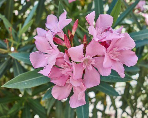 Oleander erfolgreich überwintern
