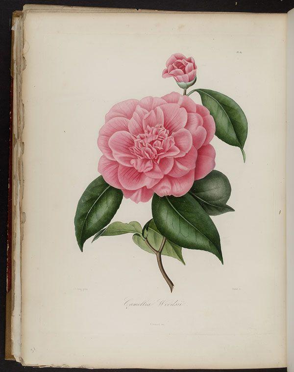Image of Illustration of Camellia Woodsii