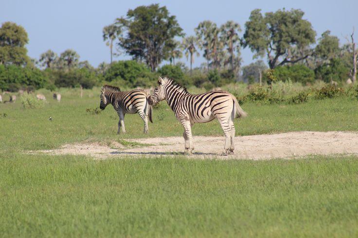 Sebra på en av øyene i Okawango