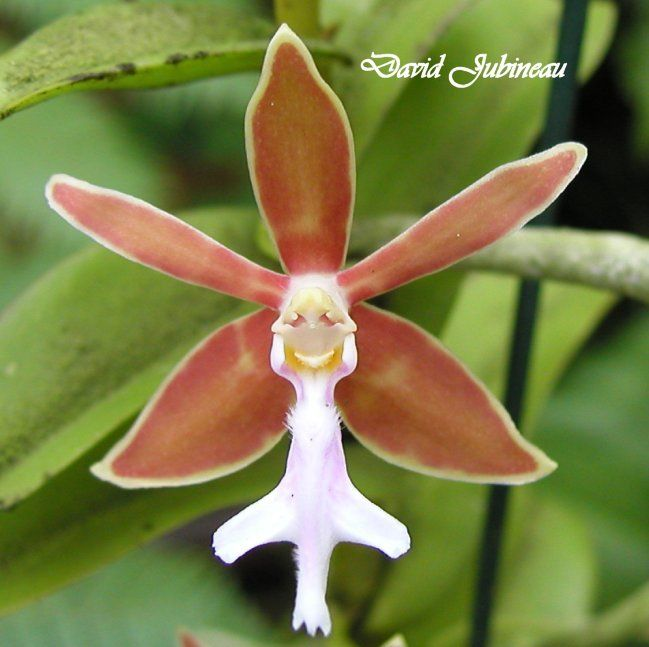 Orchid Trichoglottis Philippinensiis Beauty And Designs