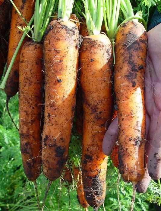 Как получить хороший урожай моркови