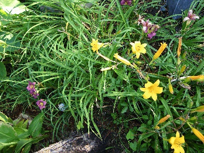 daylillys:  Cypripedium Calceolus,  Cypripedium Parviflorum,  Yellow Lady-Slipper, Yellow Lady Slippers