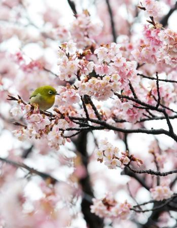 <立春>ヒカンザクラ8分咲き…和歌山  Mejiro bird in Higan Sakura tree (Wakayama prefecture)