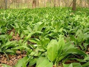 Дикорастущие съедобные растения. Часть 1