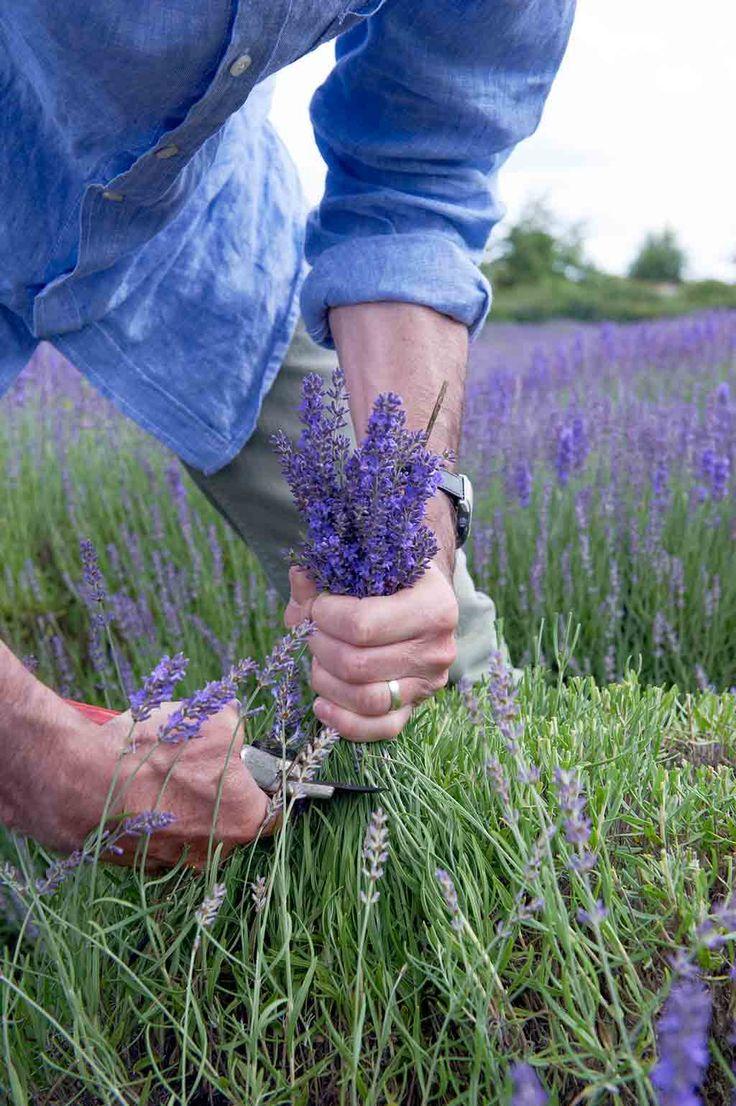 17 Best Ideas About Lavendel Schneiden On Pinterest ... Lavendel Pflanzen Tipps Pflege