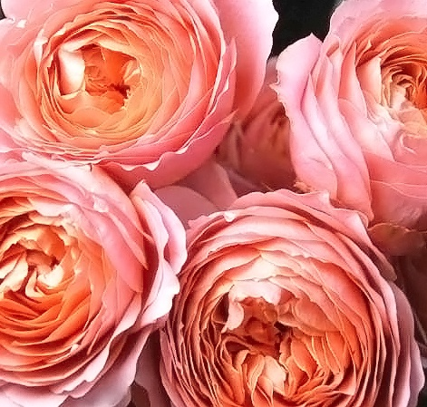 Coral Garden Rose 26 best flower types images on pinterest   flowers, blush roses