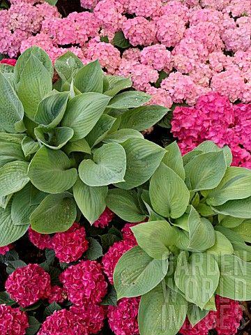 STF575- HOSTA WITH HYDRANGEA MACROPHYLLA : Asset Details -Garden World Images