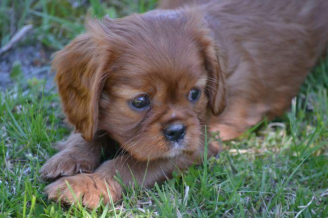 Banksia Park Puppies Mum Dana