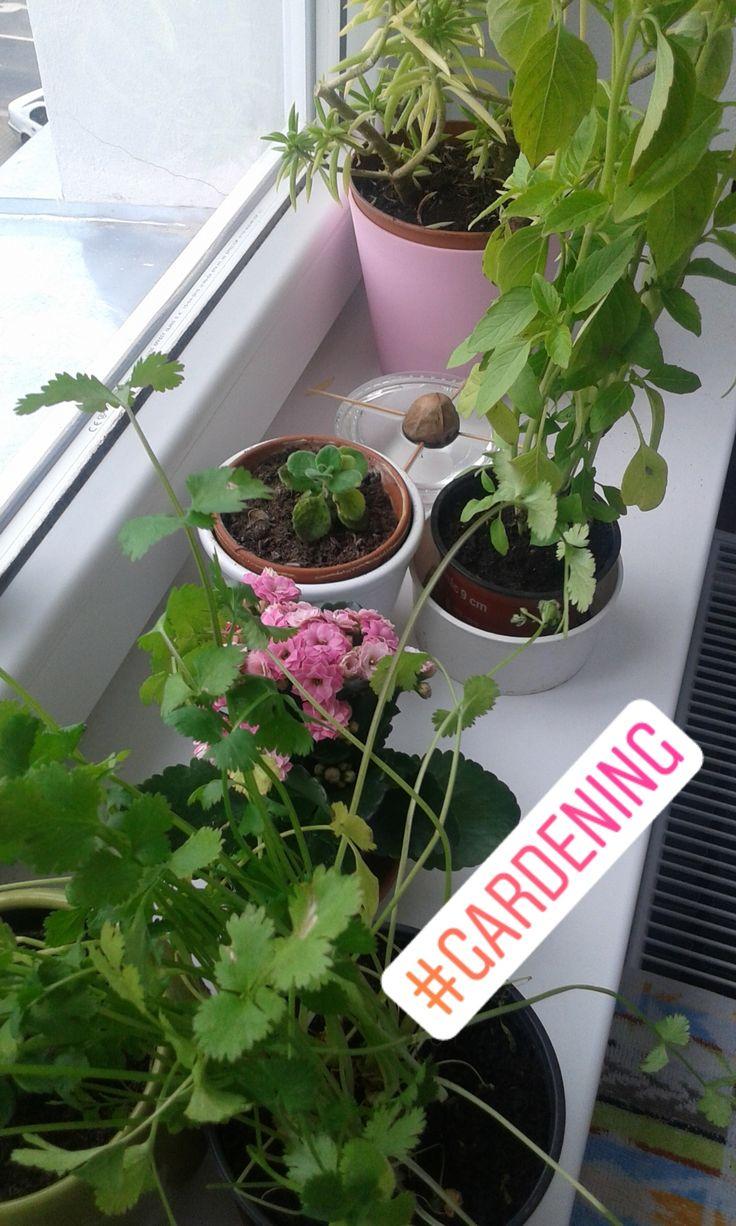 "A bit of ""gardening"" in my kitchen. via Instagram stories of @quaintrelle.georgiana  https://www.instagram.com/quaintrelle.georgiana/ | Georgiana Quaint"