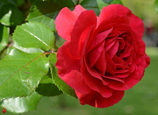 Хочу поделиться своим подходом к подкормкам роз. Роза - поистине королева сада и требует такого же, королевского, ухода. А чтобы получить богатое цветение, надо знать, какими удобрениями ее нужно по…
