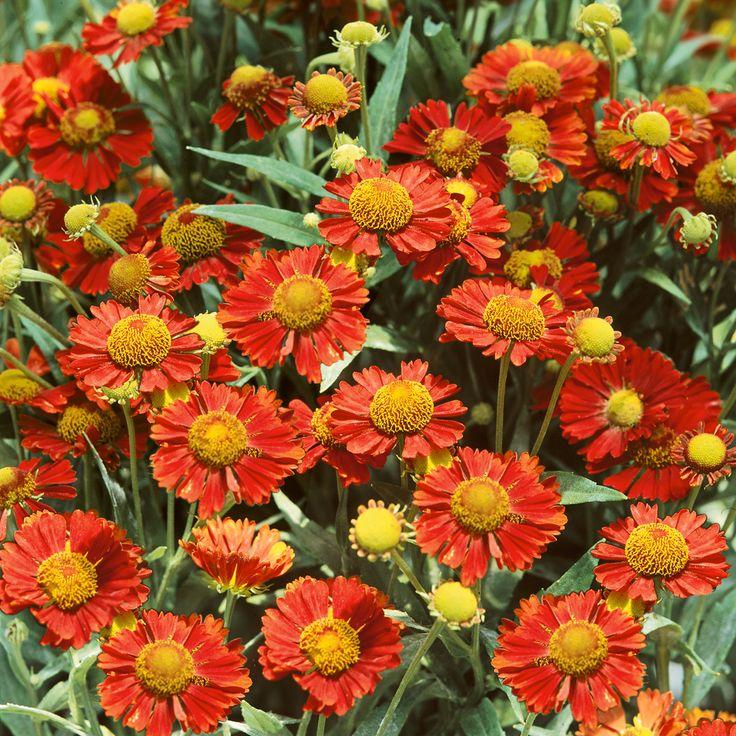 Helenium 'Ruby Tuesday' (Large Plant) - Perennial & Biennial Plants - Thompson & Morgan