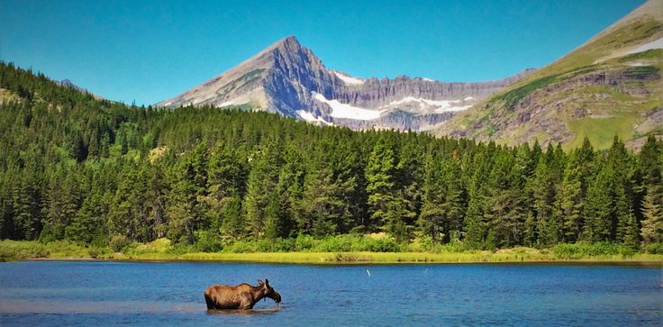 Cow Moose in Fishercap Lake Glacier National Park 1 header