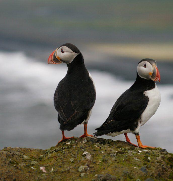 Puffins - Iceland Black Beach