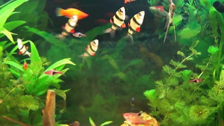 Aquarium d'eau douce - Poissons exotiques d'eau douce - Poissons d'eau d...                                                                                                                                                      Plus