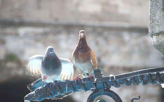 R pulsif pigeons 10 trucs pour les loigner projets essayer pigeon faire fuir les - Faire peur aux oiseaux jardin ...