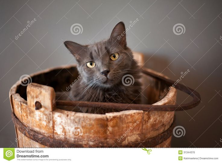 A grey Nebelung cat sits in an old, wooden, well bucket. The Nebelung is a rare breed,   A grey Nebelung cat sits in an old, wooden, well bucket. The Nebelung is a rare breed, similar to a Russian Blue, except with medium length, silky hair. Shot in the studio on a gray background.