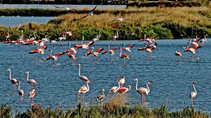 Fenicotteri rosa nelle valli di Comacchio