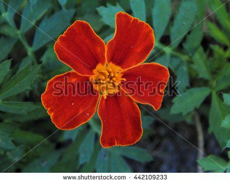 Little carnation flower closeup