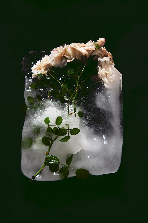 """thinhdong: thinhdong: """"VIOLENT AND STILL"""" Frozen roses #5 Selling framed prints email thinhdongblog@gmail.com (^_^)"""