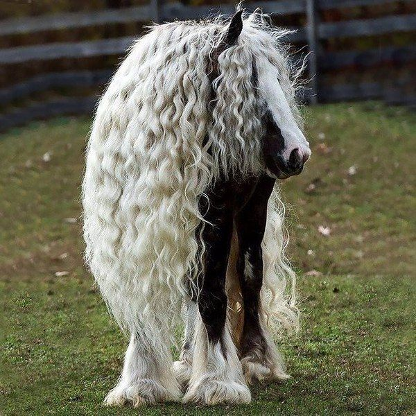 Тинкер, или цыганская упряжная лошадь Красавица!