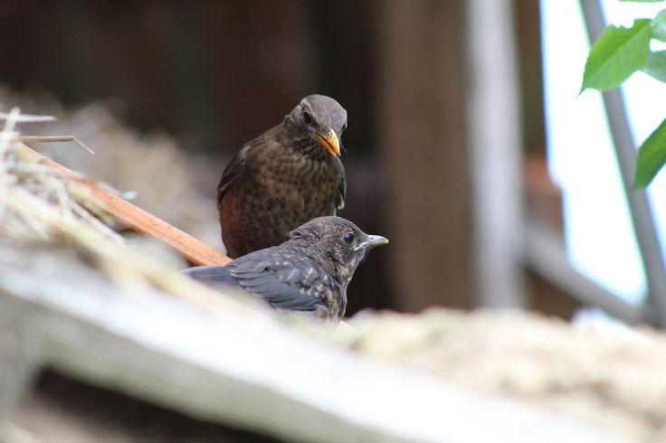 Common Blackbird family - Rodinka drozda čierneho