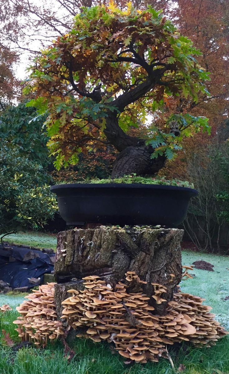 Oak yamadori bonsai with mushrooms #bonsaitrees
