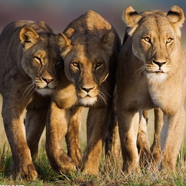 Real royalty, radiant lionesses.