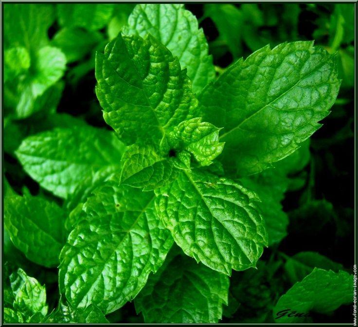 Les 25 meilleures id es concernant herbes aromatiques sur - Cuisiner la seiche fraiche ...