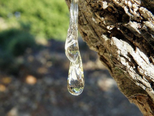 The tear of the Mastic tree    Chios island, Greece