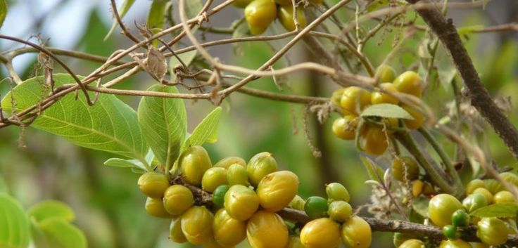 Super Diabetic Plant  One Plant To Cure Diabetes http://homeremediestv.com/super-diabetic-plant-one-plant-to-cure-diabetes/ #HealthCare #HomeRemedies #HealthTips #Remedies #NatureCures #Health #NaturalRemedies  WatchSuper Diabetic Plant  One Plant To Cure Diabetes  #FreeDiabetes : https://goo.gl/jBTFPc You Want Really Control Your Sugar Levels by Using Natural   Related Post  Can a Diabetic Eat Pineapple | Free Diabetes Watch  Can a Diabetic Eat Pineapple | #FreeDiabetes Can you eat…