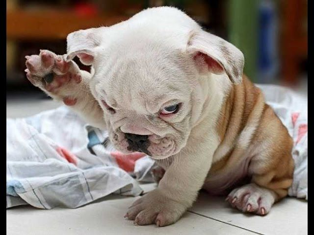 Funny Puppies And Cute BullDog Puppy Videos Compilation 2016 Subscribe for more videos ➡ HOT VIDEO TO DAY ON LaughTV Best Videos Funny Dogs ➡ Best Videos Funny and cute Cats, kitten ➡ Best Videos Funny and cute Baby ➡ Best Videos Funny and cute Animal ➡ Follow us on social Youtube: Facebook : Twitter …