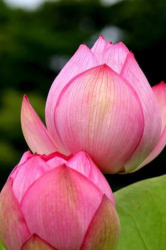Lotus blooms