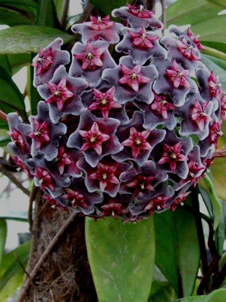 Hoya pubicalex fa. Red Buttons