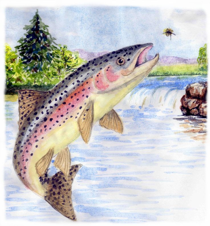 Rainbow trout are generally feeding on underwater food, living on or near the weed at the bottom or mid parts of a river or lake. Sometimes they may be close to the surface and take a fly that has just dropped into the water, and you need to be aware that when starting your retrieve, the line may feel slack. #flyfishing