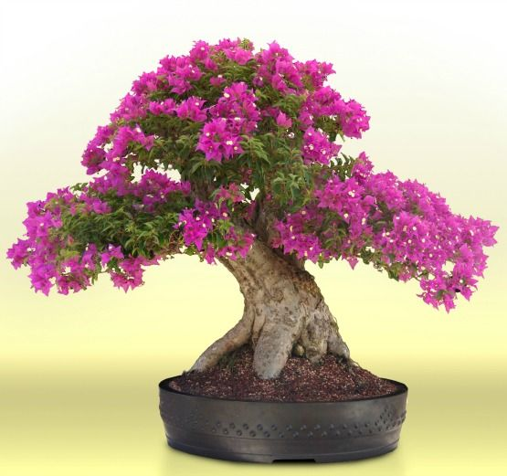 Fast growing, abundant blooms, love heat, tolerates cool, easy care, alternate leaves! Bougainvillea bonsai are just about perfect.