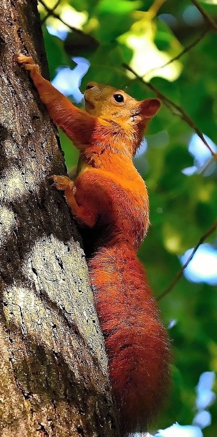 Red Squirrel for the Fall Season, go Squirrel, go!