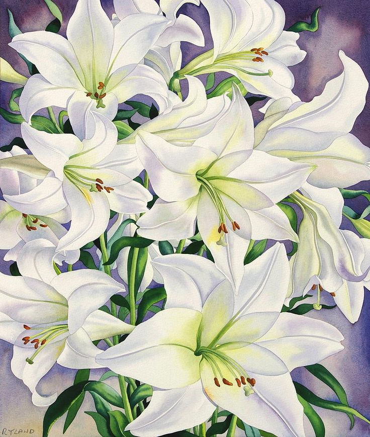 White Lilies by Christopher Ryland (contemporary), British - He has specialised in botanical painting since the early 1980's (christopherryland.co.uk) - (fine art america)
