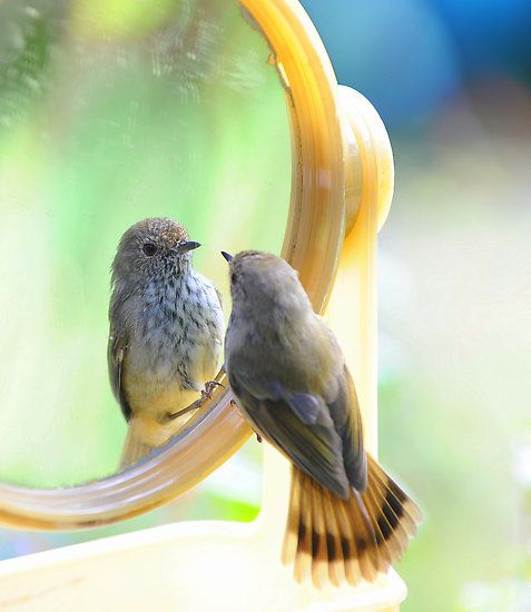 How sweet is this????  #bird reflection in mirror