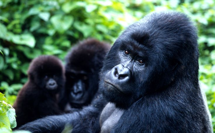 See mountain gorillas in their natural habitat