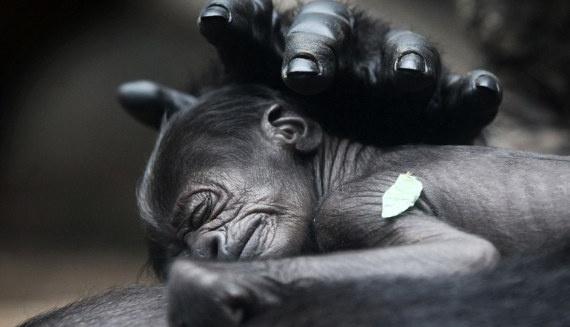 newborn gorilla baby