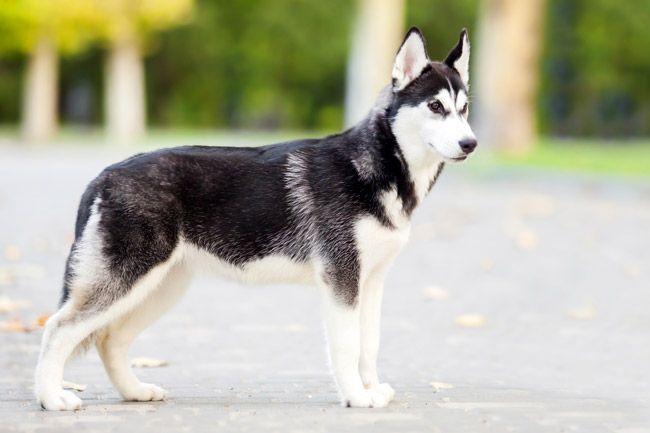 Siberian Husky Eine Rassenbeschreibung Hunde Rassen Hunderasse Siberian Husky