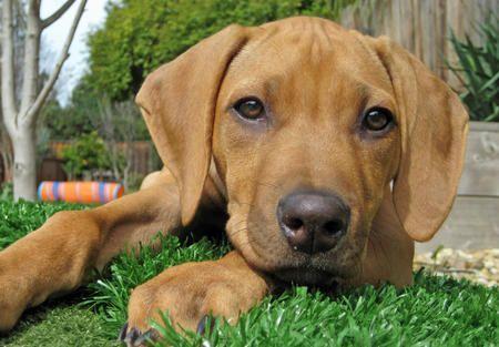 My all time favorite dog the Rhodesian Ridgeback. Perfect