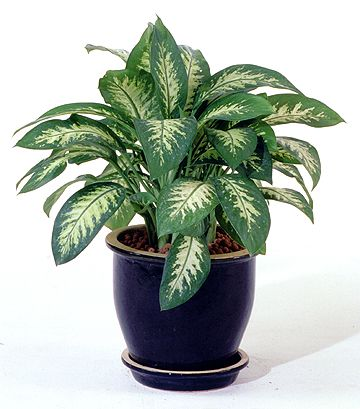 Chinese Evergreen Plant        Google Image Result for http://www.lighthome.com.au/Images/happy%2520design/chineseevergreen.jpg