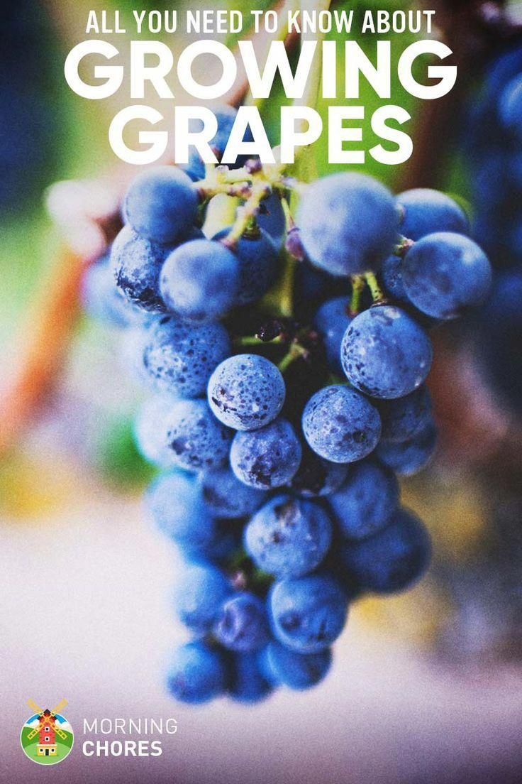 When to prune blueberries  The Complete Guide to Planting u Growing Grapes Successfully