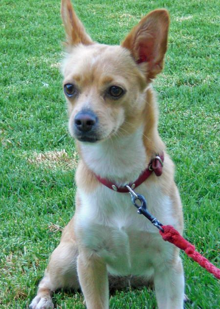 chihuahua and terrier mix 1000 ideas about chihuahua terrier mix on pinterest 6562