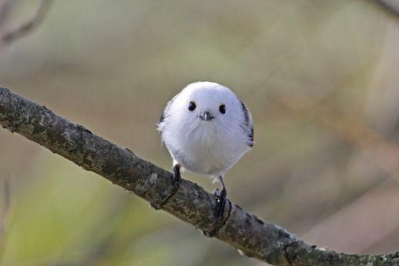 【萌え死に注意】 「シマエナガ」という小鳥が反則級の可愛さwwwww