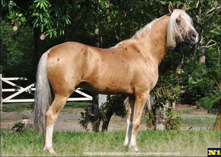Mangalarga compra e venda de cavalo no N1 do mercado de cavalos raça