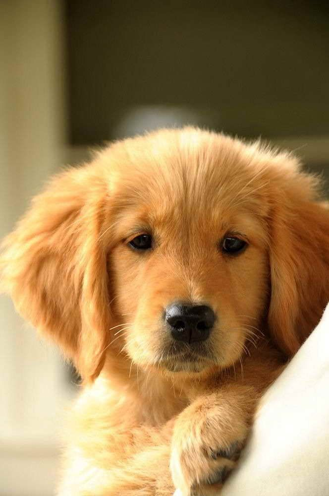 Find Golden Retriever Puppies In Quad Cities Golden Retriever