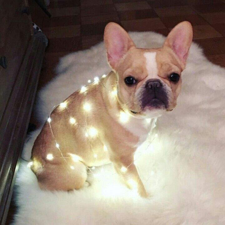 """""""Christmas Lights.... Really?"""", confused French Bulldog"""