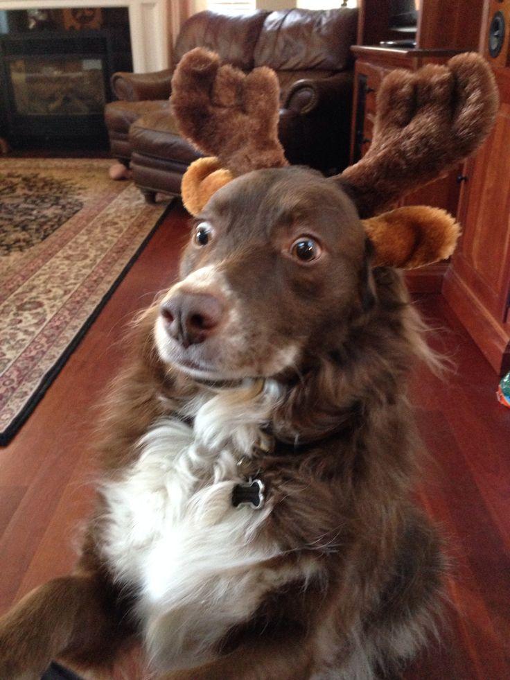 """Australian Shepherd Belle with reindeer ears and antlers. """"Get it Off!!!!""""."""